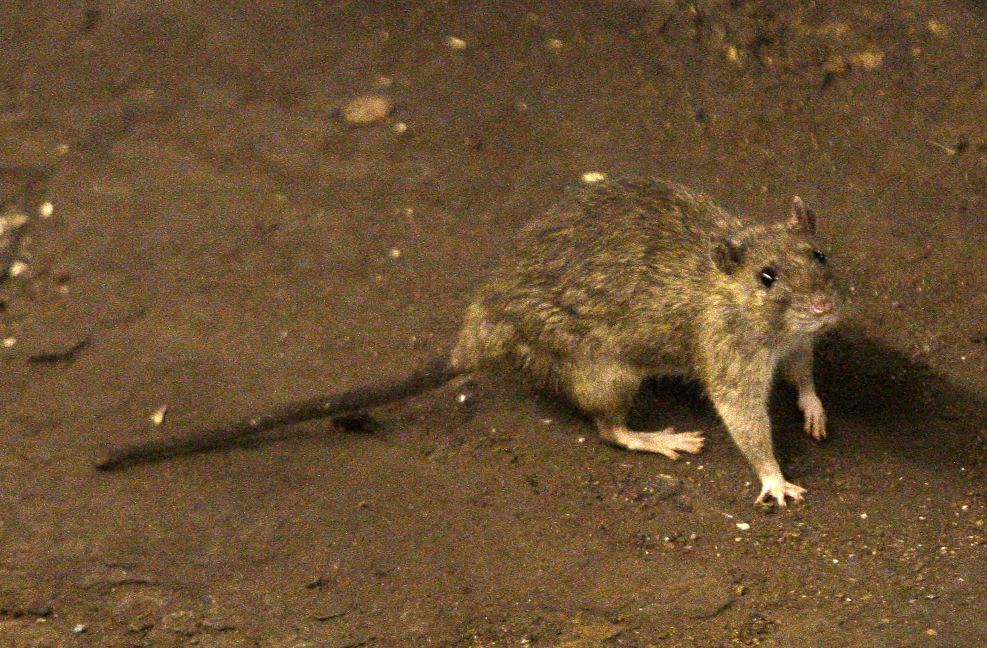 One hantavirus death in China sparks 'hysteria' over old disease