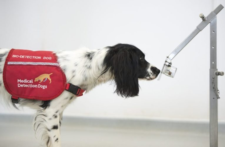 Can dogs detect COVID-19? U.K. researchers are studying if they can pick up the scent