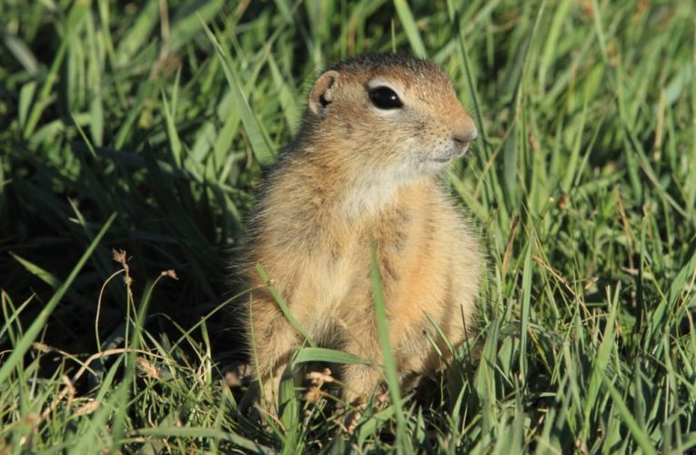 Teenager dies of bubonic plague after eating marmot in Mongolia